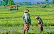 Thailand's rice in the central region