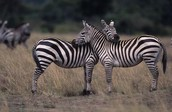 2 ZEBRAS WATCHING EACH OTHERS BACKS