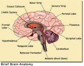 brain pathways from sensory organs to various parts of the brain