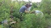 Harvesting Carrots and Tumeric