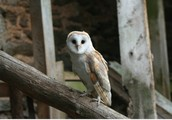 Save barn owls