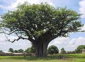 Karite Tree