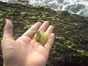 Alga pluricelular