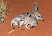 Bilbys are native Australian marsupial mammals