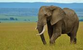 African elphant