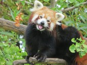 Fun Facts about the red panda's