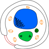 תרשים של תא שמר