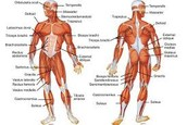 summary of the muscular system