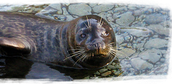 The Harbor Seal