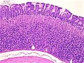 Digestive Tissue