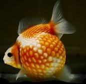 Fish Choking on the Golf Ball
