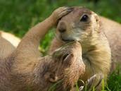 Cute Prairie Dogs