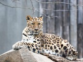 The scientific name of the amur leopard