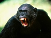 how dangeres chimpanzees are