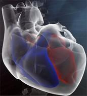 Anatomia interna do coração com cavidades e válvulas