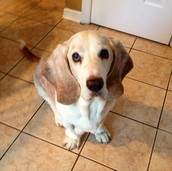 """Our """"mascot"""" Charlie Basset!"""