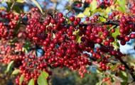 Choke/Gut Berries