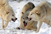 I am the leader of the pack.