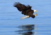 help save the bald eagles