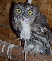 Screech owl eating mouse