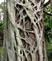 Strangler Fig and Tree Branches
