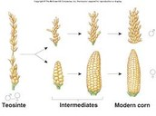 Artificial selection in corn