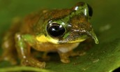 New Species- Long Nose Tree Frog
