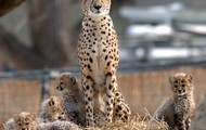 Cheetah litter