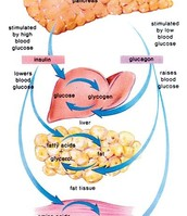 This illustrates how the pancreas reacts to high and low blood glucose levels.
