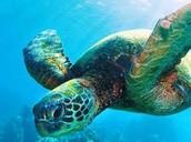 TAXONOMY OF THE SEA TURTLE