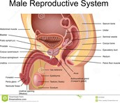 Reproduction System of the Male Body