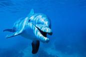 A dolphin
