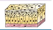Epithelial Tissue #3