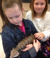 Tilly the Blue-tongued Skink