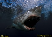 The Great-white-shark