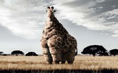 This giraffe ate a lot!