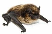 History of the Gray Bat