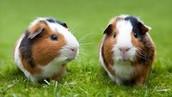 My Guinea Pigs ( Rhino & Chloe)