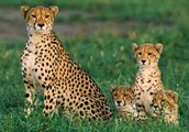 Cheetah Description