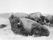 The Plains Buffalo's