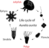 The life cycle of an Moon Jellyfish!