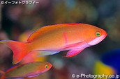 Male Ignitus Anthias