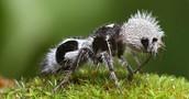 hairy Gary  (panda ant)
