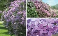 Common Lilac; Syringa vulgaris