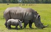 Javan Rhinoceroes