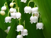 lily of the valley poison