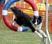 What Border Collies Look Like