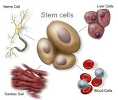 What is a Stem Cells?