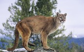 The Eastern Cougar..