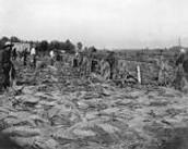 The Casorso Tabacco Farm back in the 1900's